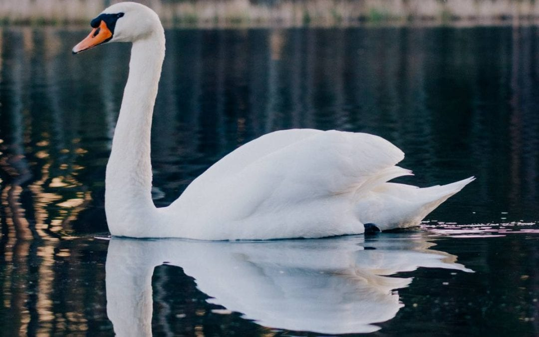 swan swimming along the water